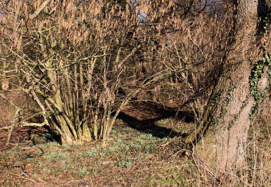 Wilde Schneeglöckchen (c) FRank Koebsch