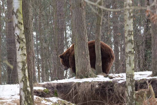 Braunbär im Wildpark MV (c) FRank Koebsch (1)