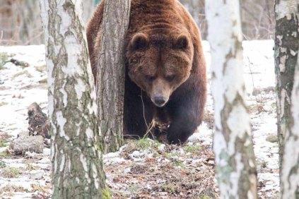 Braunbär im Wildpark MV (c) FRank Koebsch (12)