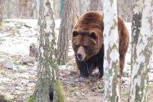 Braunbär im Wildpark MV (c) FRank Koebsch (13)