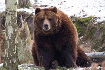 Braunbär im Wildpark MV (c) FRank Koebsch (17)