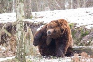 Braunbär im Wildpark MV (c) FRank Koebsch (21)