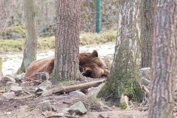 Braunbär im Wildpark MV (c) FRank Koebsch (3)
