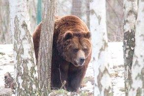 Braunbär im Wildpark MV (c) FRank Koebsch (9)