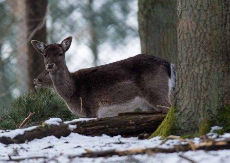 Damwild im Wildpark MV (c) Frank Koebsch (1)