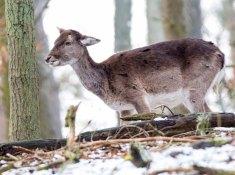 Damwild im Wildpark MV (c) Frank Koebsch (3)