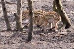 Frischlinge im Wildpark MV (c) Frank Koebsch (11)