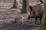 Frischlinge im Wildpark MV (c) Frank Koebsch (5)