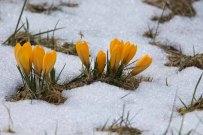 Krokusse im Schnee im Wildpark MV (c) FRank Koebsch (2)