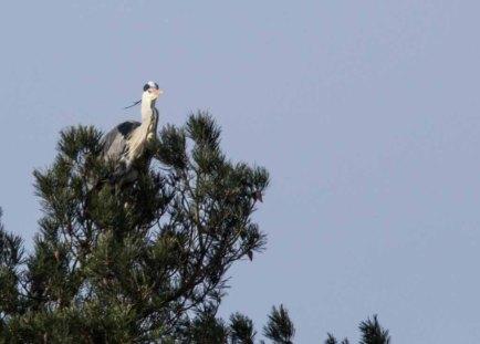 Reiher beim Netztbau auf einer Kiefer im Wildpark MV (c) FRank Koebsch (4)