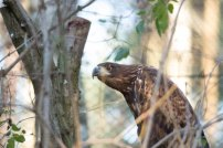 Seeadler im Wildpark MV (c) FRank Koebsch (1)
