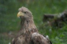 Seeadler im Wildpark MV (c) FRank Koebsch (2)