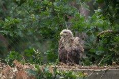 Seeadler im Wildpark MV (c) FRank Koebsch (3)