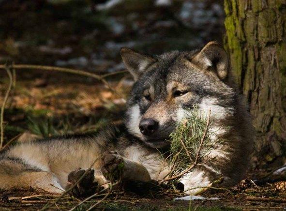 Wölfe im Wildpark MV (c) FRank Koebsch (25)