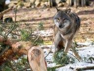 Wölfe im Wildpark MV (c) FRank Koebsch (28)