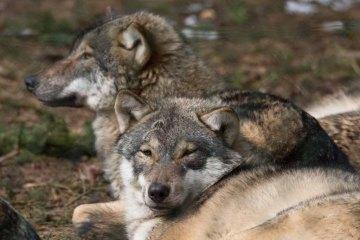 Wölfe im Wildpark MV (c) FRank Koebsch (37)