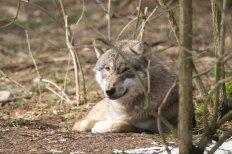 Wölfe im Wildpark MV (c) FRank Koebsch (39)