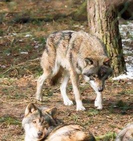 Wölfe im Wildpark MV (c) FRank Koebsch (41)