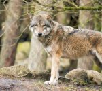 Wölfe im Wildpark MV (c) FRank Koebsch (42)