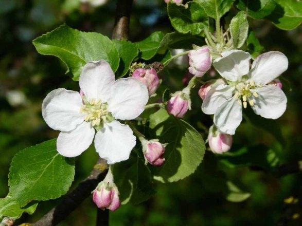 Farbspiel der Apfelblüte (c) Frank Koebsch (1)
