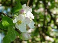 Farbspiel der Apfelblüte (c) Frank Koebsch (2)