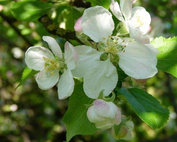 Farbspiel der Apfelblüte (c) Frank Koebsch (3)