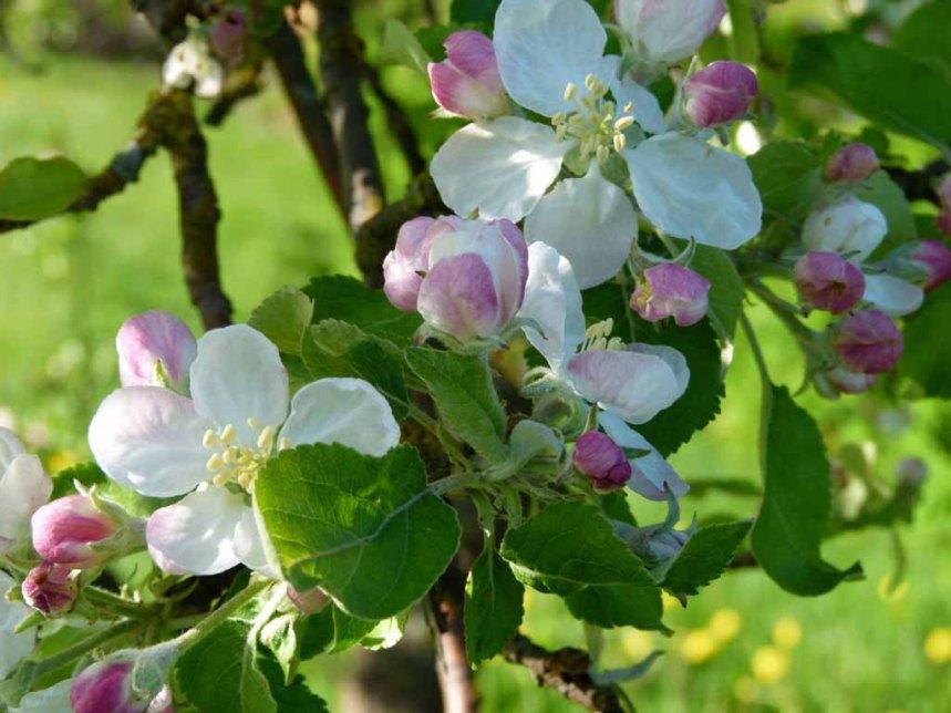 Farbspiel der Apfelblüte (c) Frank Koebsch (4)