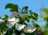 Farbspiel der Apfelblüte (c) Frank Koebsch (5)