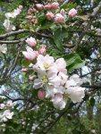 Farbspiel der Apfelblüte (c) Frank Koebsch (6)