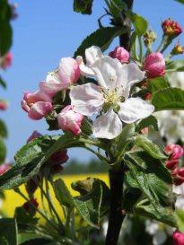 Farbspiel der Apfelblüte (c) Frank Koebsch (7)