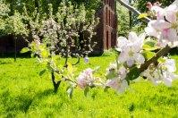Pein Air Festival 2018 - Die Obstblüte im Klostergarten Bad Doberan ist ein wunderbares Motiv (c) FRank Koebsch (4)