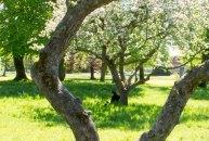 Pein Air Festival 2018 - Die Obstblüte im Klostergarten Bad Doberan ist ein wunderbares Motiv (c) FRank Koebsch (5)
