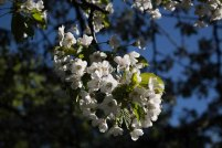Plein Air Festival 2018 - Kirschblüten in der Alten Büdnerei (c) Frank Koebsch