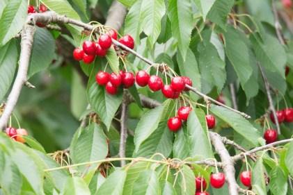 Kirschen - sind wunderbare roten Früchte (c) Frank Koebsch (1)