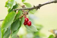 Kirschen - sind wunderbare roten Früchte (c) Frank Koebsch (2)