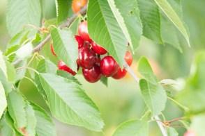 Kirschen - sind wunderbare roten Früchte (c) Frank Koebsch (3)