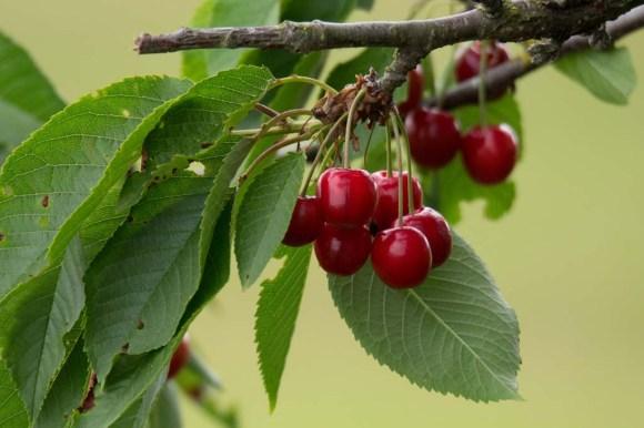 Kirschen - sind wunderbare roten Früchte (c) Frank Koebsch (4)