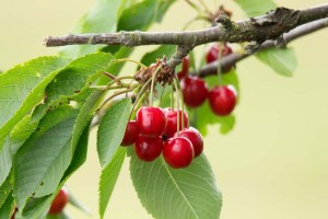 Kirschen - sind wunderbare roten Früchte (c) Frank Koebsch (5)