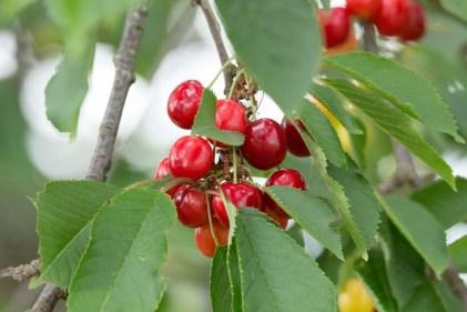 Kirschen - sind wunderbare roten Früchte (c) Frank Koebsch (6)