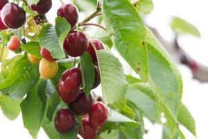 Kirschen - sind wunderbare roten Früchte (c) Frank Koebsch (9)