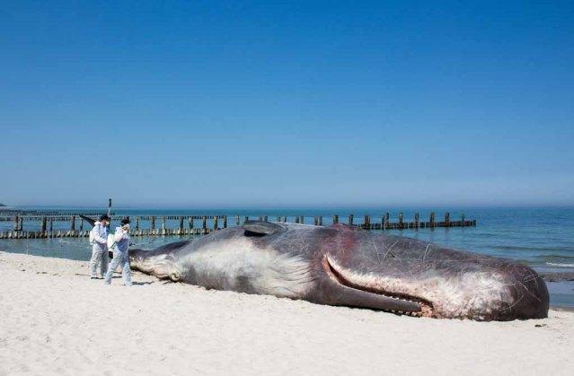 Pottwal am Strand von Zingst im Rahmen des Umweltfotofestival - horizonte zingst (c) FRank Koebsch