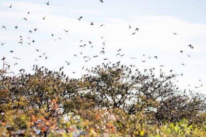 Stare in den Büschen auf den Boddenwiesen auf Ummanz (c) Frank Koebsch (4)