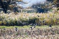 Vogelzug - Stare auf Ummanz (c) Frank Koebsch (3)