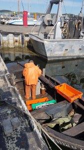 Die Fischer bringen Hornfische in den Hafen von Thiessow (c) Frank Koebsch (1)