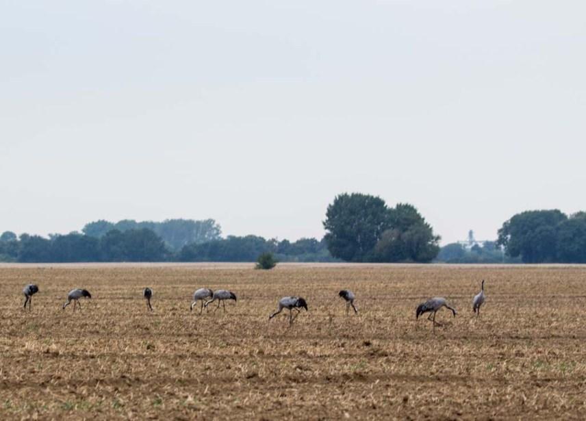 Kraniche auf den Feldern von Bugewitz in der Nähe des Anklamer Stadtbruchs (c) Frank Koebsch (3)