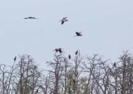 Reiher und Seeadler hoch oben in den Witweln des Anklamer Stadtbruchs (c) FRank Koebsch (1)