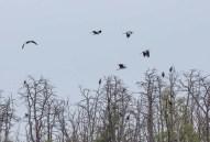 Reiher und Seeadler hoch oben in den Witweln des Anklamer Stadtbruchs (c) FRank Koebsch (2)