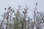 Seeadler hoch oben in den Witweln des Anklamer Stadtbruchs (c) FRank Koebsch (2)