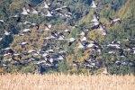 1001 Kraniche über den Feldern an der Müritz (c) FRank Koebsch (3)