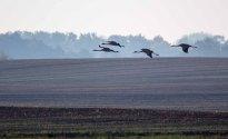 eine vierköpfige Kranichfamilie über den Feldern an der Müritz (c) Frank Koebsch (1)